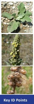 common mullein ID